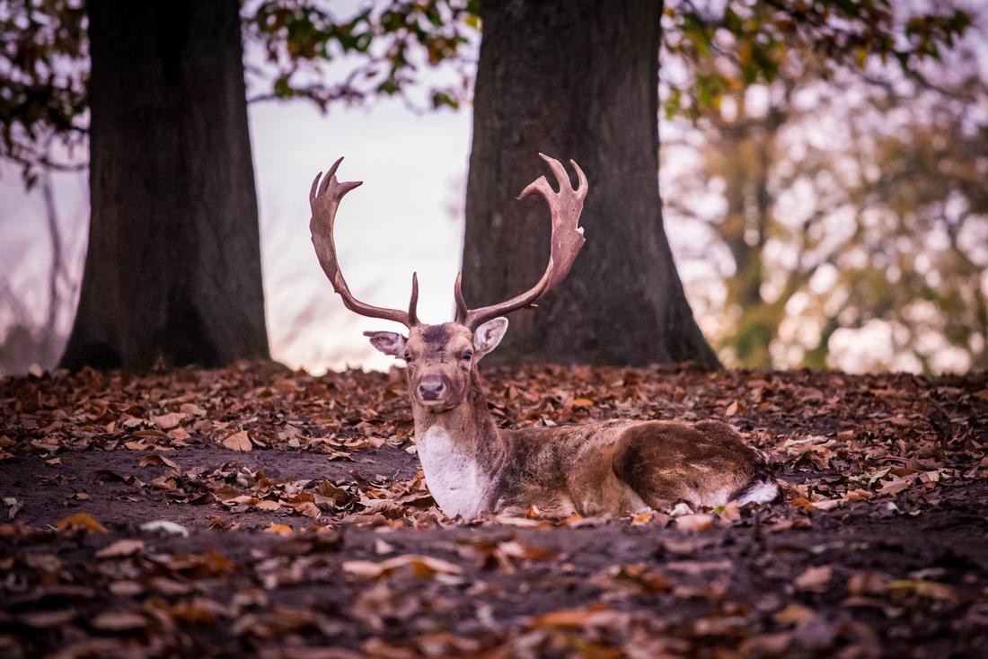 Stag in Knole Park, Sevenoaks, UK